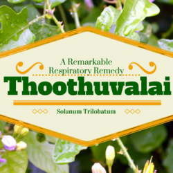Thoothuvalai – A Remarkable Respiratory Remedy 2